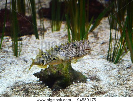 Ocean floor with eel grass and a striped burrfish swimming.