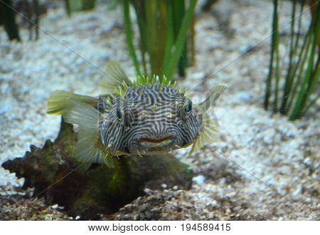 Spiny boxfish with striking green eyes swimming underwater.