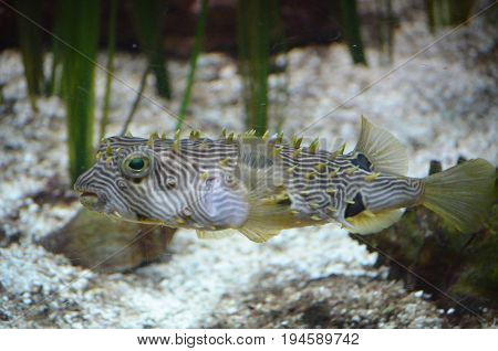 A swimming spikey striped burrfish swimming along a sandy ocean floor.