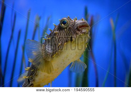 Fantastic close up look at a striped burrfish swimming underwater.