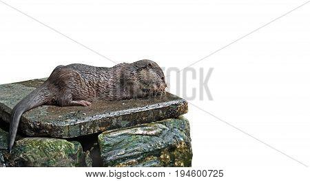 Wet Otter Eating Fish Isolated on White Background