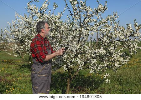 Farmer Or Agronomist Examining Blossoming Cherry Orchard
