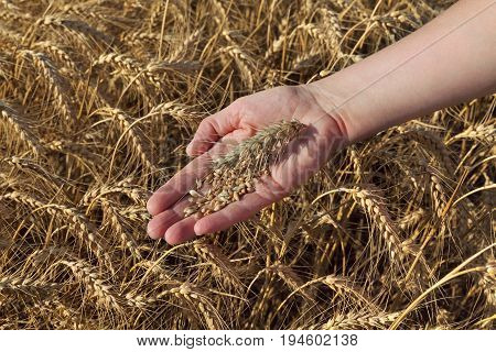 Agricultural Concept, Wheat In Hand And Field