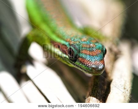 Day gecko close-up in its natural habitat