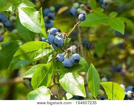 Tall huckleberry or Vaccinium corymbosum riping berries close-up selective focus shallow DOF.