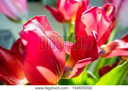 Beautiful blurred dreamy photo of pink tulip details and bokeh background