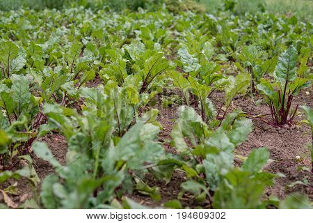 Beetroot Growing On The Field