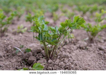 Celery Growing On The Field