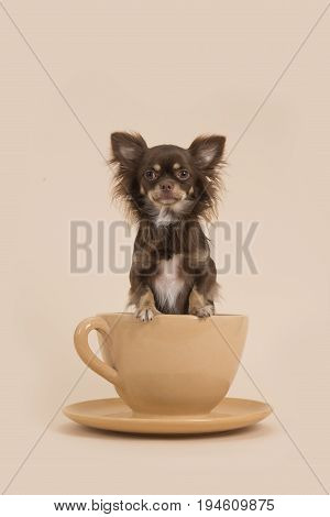 Brown longhair chihuahua in a creme cup and saucer on a creme colored background
