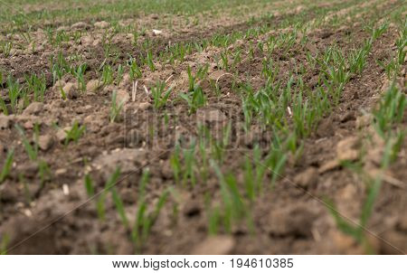 Wheat Growing From The Ground