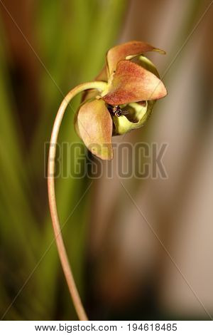A Carnivorus Plant