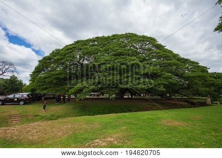Giant Monky Pod Tree With People Visited