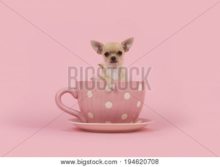 Cute chihuahua puppy dog sitting in a pink cup and saucer on a pink background