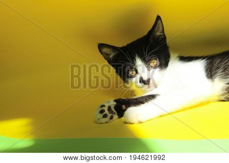 Black and white cat on yellow background. Black and white cat relaxing.