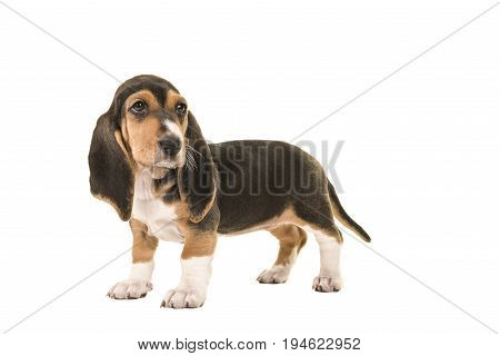 Standing basset artesien normand puppy seen from the side looking back isolated on a white background