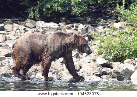 USA, Alaska, Brown Bear walking by water edge, side view