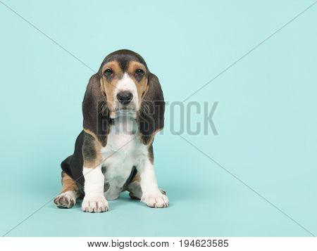 Cute sitting basset artesien normand puppy on a blue background