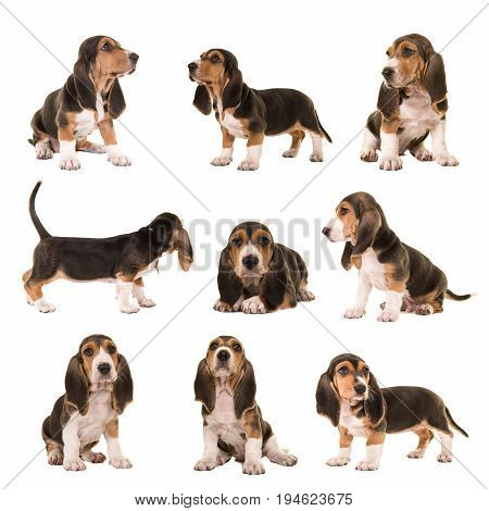 Collage with al kind of postures of basset artesien normand puppy dogs on a white background