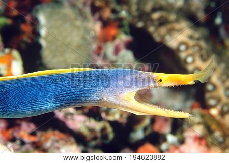 Female Ribbon Eel with mouth open, side view
