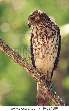 Merlin (Falco columbarius) perching on branch