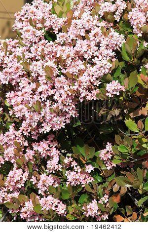 Indian Hawthorn Flower