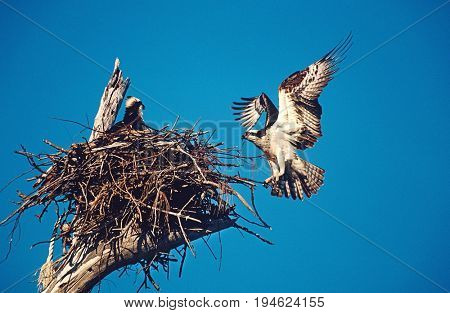 Adult Osprey (Pandion haliaetus) returning to nest with nestling