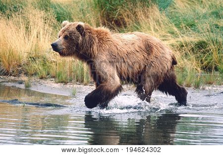 USA, Alaska, Katmai National Park, Brown Bear running across water, side view