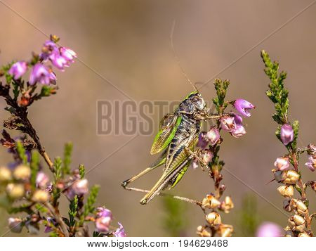 Bog Bush-cricket On Heather