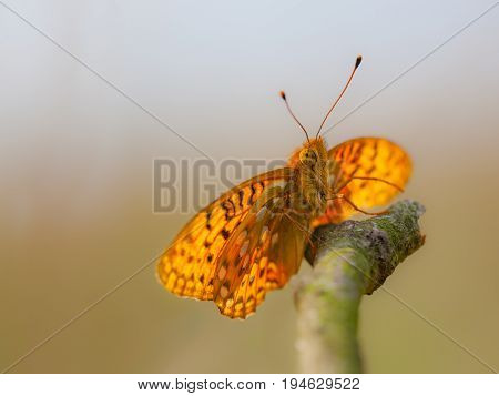 Dark Green Fritillary (argynnis Aglaja) Butterfly Basking On A Stick
