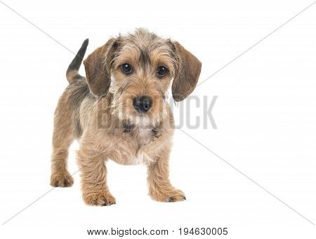 Young wirehaired dachshund standing looking at the camera with waging tail isolated on a white background
