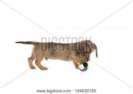 Young wirehaired dachshund seen from the side playing with a colored ball isolated on a white background