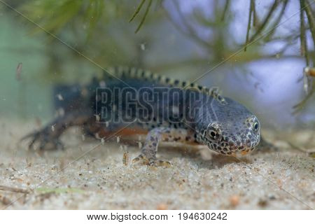 Submersed Alpine Newt Resting On The Bottom
