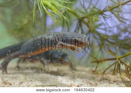 Swimming Female Alpine Newt