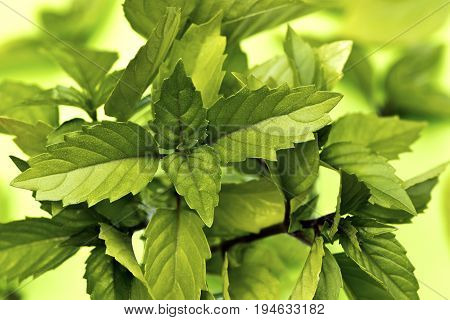 Leaves of Thai basil on the light green background