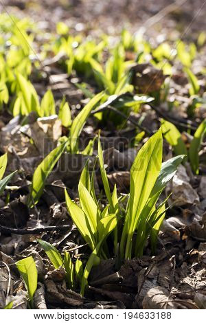 Ramsons (bear's garlic) in the forest floor in spring