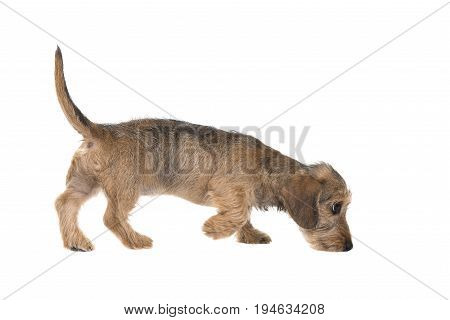 Young wirehaired dachshund sniffing around seen from the side isolated on a white background