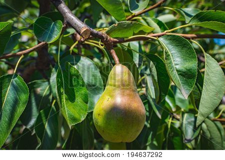 Pear fruit, organic healthy food from the nature. The pear is any of several tree and shrub species of genus Pyrus, in the family Rosaceae. It is also the name of the pomaceous fruit of the trees.