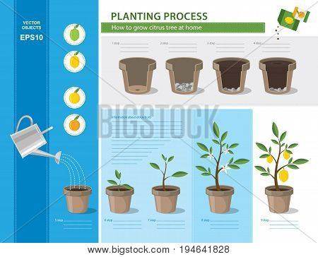 Vector timeline infographic concept of planting process in flat design. How to grow citrus tree at home easy step by step. Illustration of ceramic flower pots with potting soil and cycle lemon tree