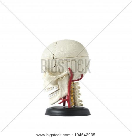 Artificial human skull model on the white background,left sided view