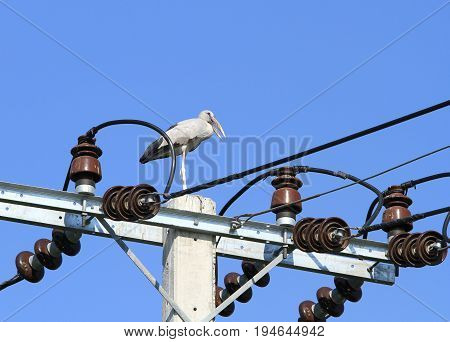 Asian openbill stork on the electric power pole