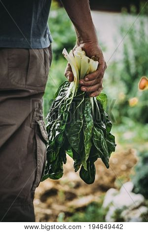 Organic vegetables. Fresh  mangold in farmers hands