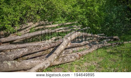 A Bunch Of Curves Fallen Oak Trunks