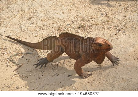 Brown iguana crawling across the sand in search of prey. Fauna Of The Caribbean.