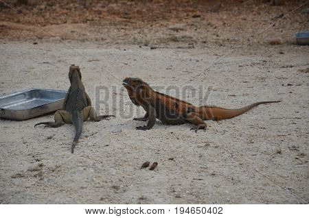 Two brown iguanas at feeding time in the reserve Fauna of the Caribbean.