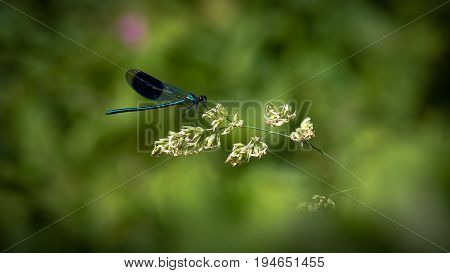 Damselfly metallic blue green sitting on grass seed