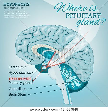 Pituitary gland detailed vector illustration.  Medical anatomy of human brain cross section. Hypophysis infographic in light blue colours. Where is pituitary gland concept.