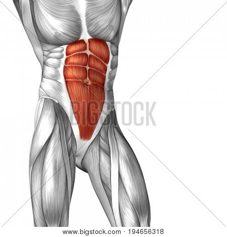Concept conceptual 3D illustration chest fit strong human anatomy or anatomical and gym muscle isolated, white background for body health with tendons, abs, biological, fitness medical muscular system