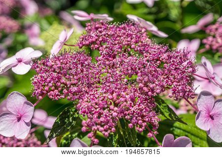 The Pink Sparkler Spirea Flowers Is A Smaller Shrub With A Rounded Shape, Spiraea X Betulifolia 'pin