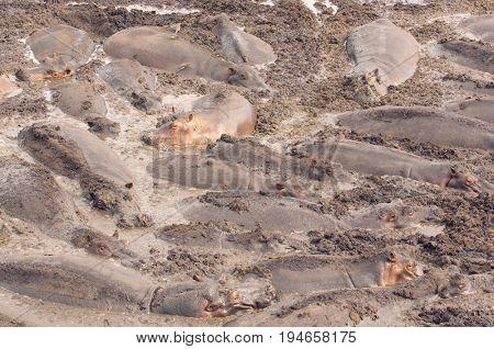 Herd of Hippopotamus Wallowing in River Mud