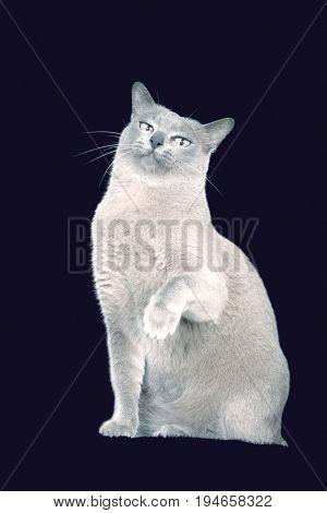 Blue Burmese cat raising paw against black background